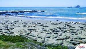 Lontras Marinhas na praia do Farol de Piedras Blancas